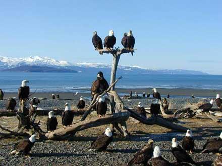 Homer_Eagles2