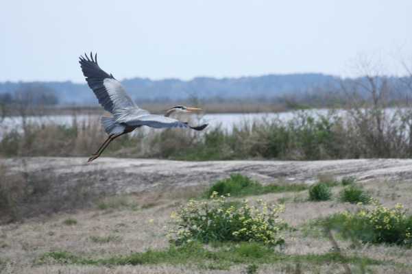 Great-Blue-Heron-Flying-Away